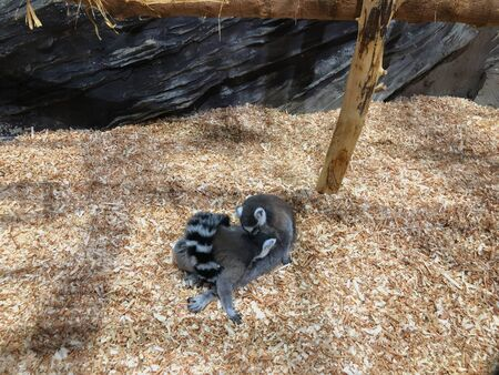 A curious lemur peers through cage. Ring-tailed lemur at the zoo. 写真素材