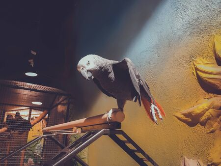 The grey parrot with red tail, also known as the Congo grey parrot or African grey parrot. 写真素材