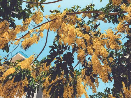 Blooming yellow acacia or elm. Mimosa, acacia and other plants on a branch. 스톡 콘텐츠