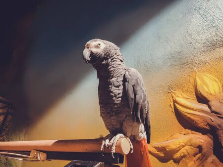 The grey parrot with red tail, also known as the Congo grey parrot or African grey parrot. 스톡 콘텐츠