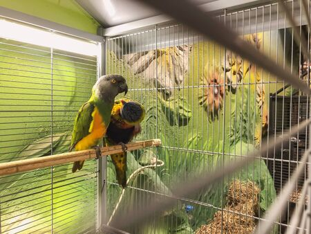 Close-up of two multi-colored beautiful parrots sitting together on a perch.