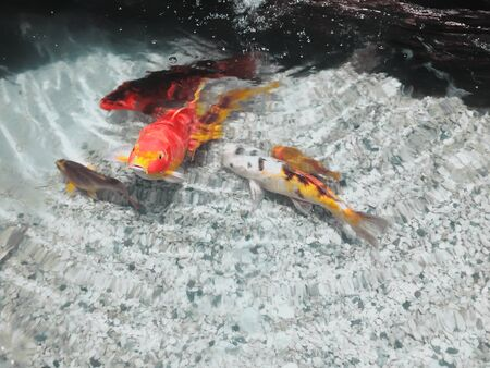 Red and silver-red fish swim in clear water. Close-up shot. 写真素材
