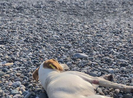 Purebred dog lying on a rocky beach, sunny day at sea.