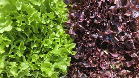 lettuce salad, organic vegan and vegetarian nutrition Stock Photo