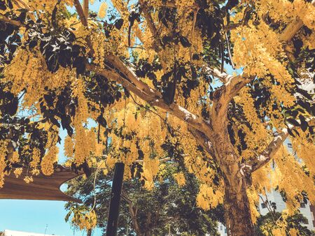 Blooming yellow acacia or elm. Mimosa, acacia and other plants on a branch. Archivio Fotografico
