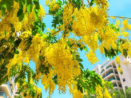 Blooming yellow acacia or elm. Mimosa, acacia and other plants on a branch Archivio Fotografico