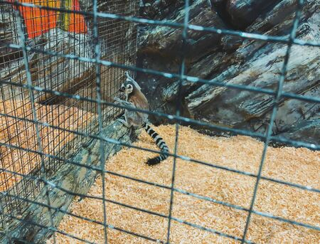 A curious lemur peers through cage. Ring-tailed lemur at the zoo.