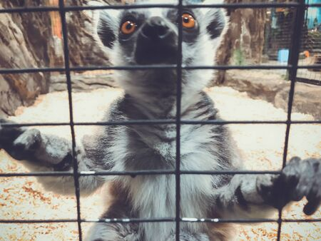 A curious lemur peers through cage. Ring-tailed lemur at the zoo. Stok Fotoğraf
