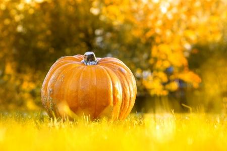 cucurbita: Ambercup pumpkin in autumn garden Stock Photo