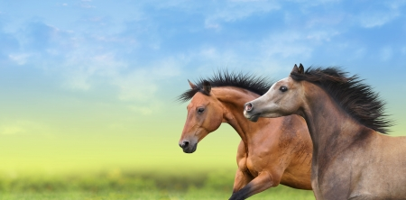 running horses: Two brown horses running through the green field