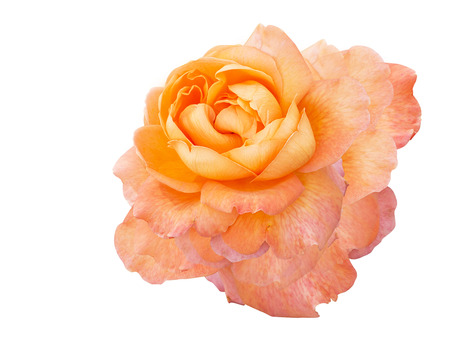 soft coral:   Coral rose on white background Stock Photo