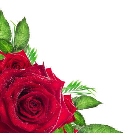 Red rose flower with green leaves on white background, corner border