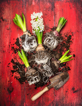 composing: Young  hyacinth with old garden shovel and soil on red wooden background, spring gardening, top view Stock Photo