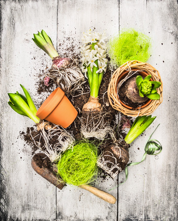 전구와 새싹 가지 회색 나무 배경에 정원 삽과 꽃 화분 히아신스, 봄의 정원