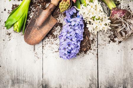 白い木製ガーデン テーブルに春のヒヤシンスの花、球根、塊茎、シャベルおよび土と園芸の背景