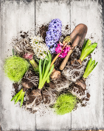 black and white flowers: Spring flowers potting with hyacinth , bulbs, Tubers, shovel and soil, composing on white wooden background, top view Stock Photo