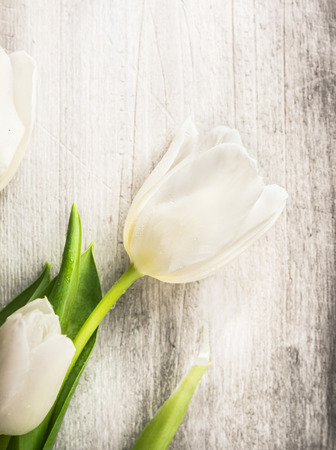 april flowers: White tulip on old gray wooden background, spring card