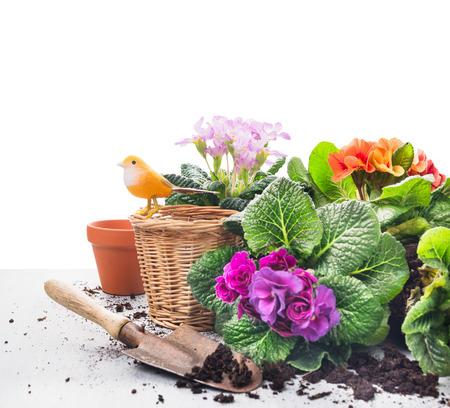 Spring tuinset met sleutelbloem bloemen, potten en schep op grijs houten tafel, een witte achtergrond Stockfoto