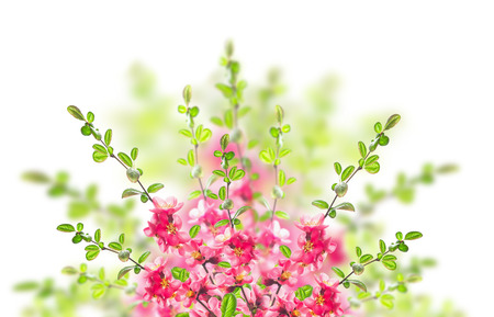 Pink blooming bush on white background photo
