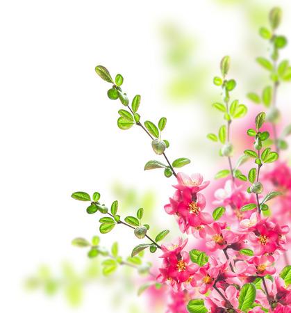 membrillo: Bush con flores brillantes de color rosa, hojas verdes y ramas jóvenes en el fondo blanco Foto de archivo