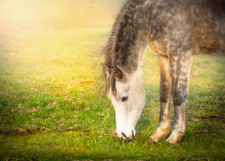 draft horse: Gray horse graze on sun light