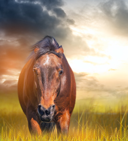 angry horse with ears laid back in a field at sunset photo