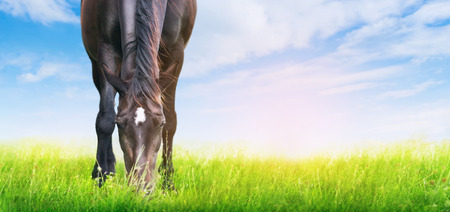 flowers field: horse is grazed on sunny meadow, banner for website Stock Photo