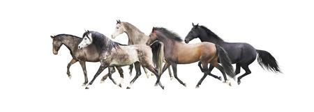 grey horses: herd of horses running, isolated on white background