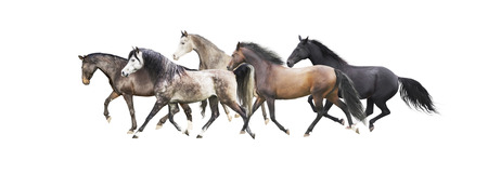red horse: herd of horses running, isolated on white background