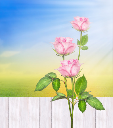 Rose bushes against  white fence in summer sunny garden , nature background photo