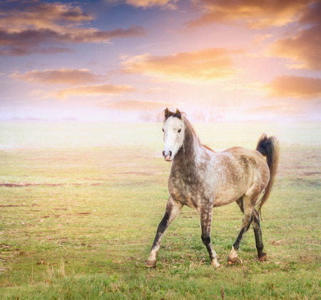 trot: Gray horse running trot on pature over sunny clouds sky Stock Photo