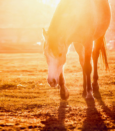sunny season: Horse on field at orange sunset light Stock Photo