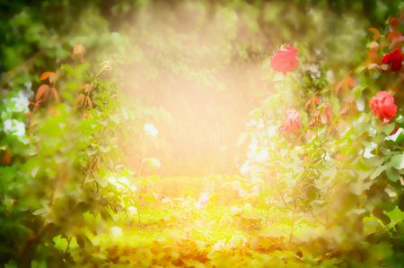 red rose bokeh: Sunny garden roses, blurred nature background