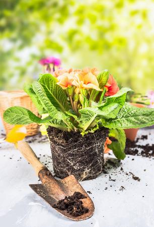 jardines con flores: Flores del Primula con el suelo y las ra�ces en la mesa de jard�n con la cucharada sobre fondo de naturaleza soleado
