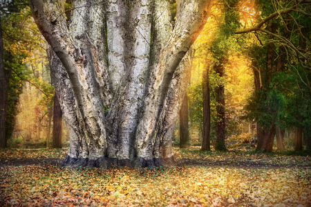 undisturbed: Tree with many trunks in autumn forest, nature background