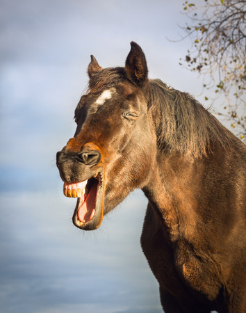 Yawning brown horse on sky background