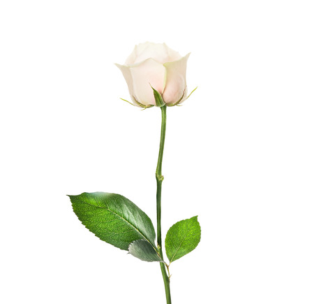 Cream rose in bud with beautiful leaves, isolated on white Stock Photo