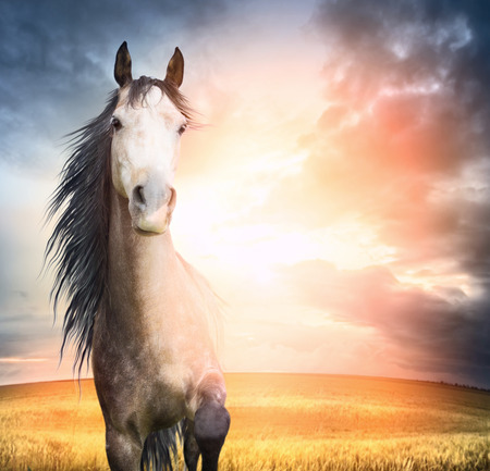 horse chestnuts: brown horse portrait with mane and raised leg in sunset light Stock Photo