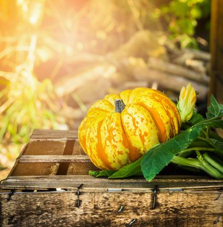 Citrouille sur la vieille boîte en bois dans le soleil à l'automne jardin