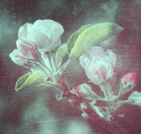 Apple tree flowers over blue texture background photo