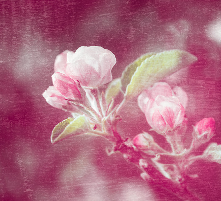 Apple tree flowers on pink background texture photo