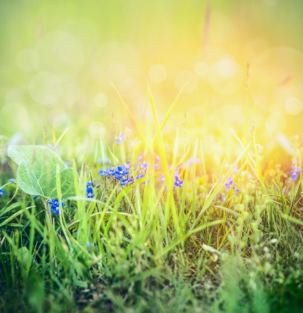 flowering field: Wild Forget me not flowers in spring grass on sunny nature background with bokeh