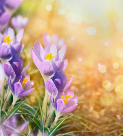 field flower: crocus over blurred sunny nature background with bokeh, close up