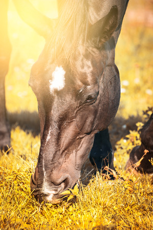 red horse: Grazing horses on autumn grass on  sunny day