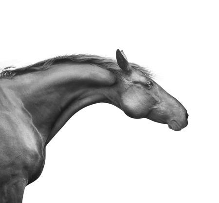 profiel portret van zwart paard met een goede nek en hoofd, op een witte achtergrond Stockfoto