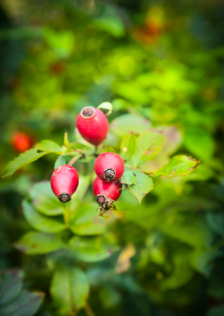 Sweet Briar berries on bunch in autumn garden