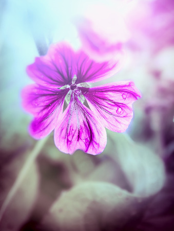 mallow: Wild mallow flower toning,