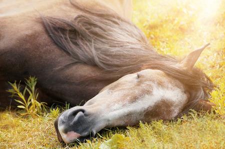 trakehner: sleeping horse on autumn grass in sunlight