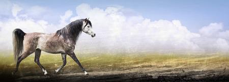 trot: Arabian thoroughbred horse running trot on nature background, banner