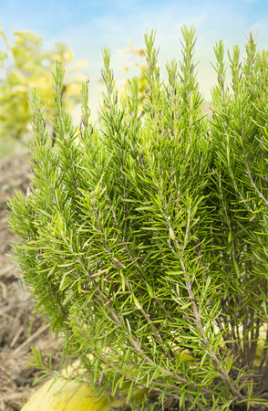 officinalis: large shrub of rosemary in garden Stock Photo